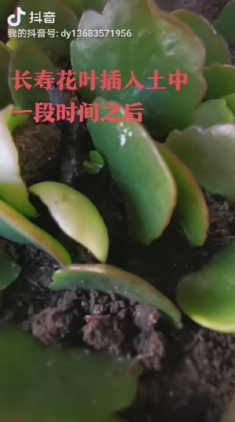 一片长寿花叶子叶柄朝下插在土里……