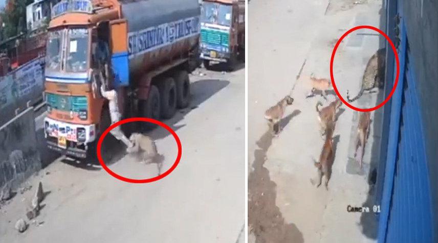 卡车司机遭豹子袭击被流浪狗救下