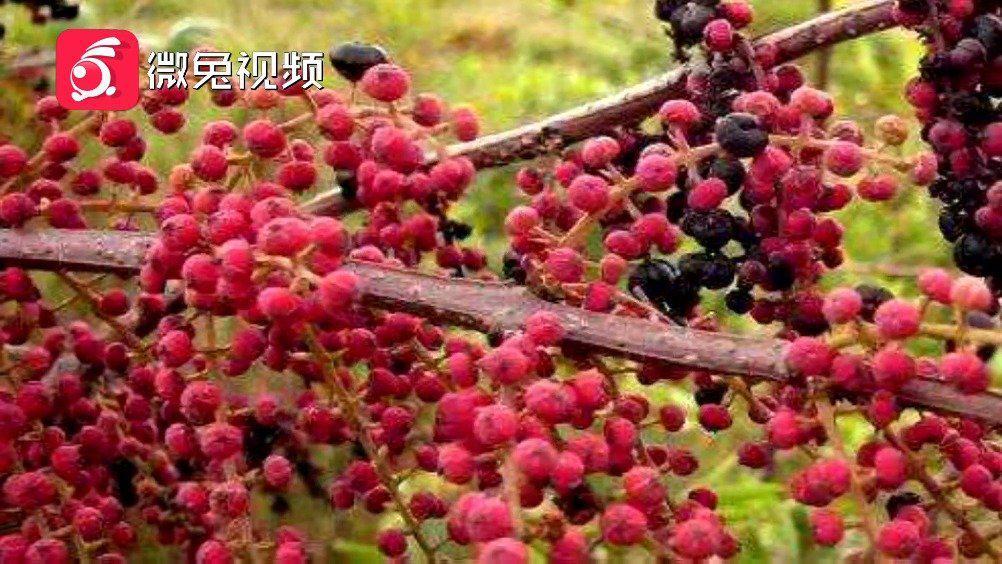 """贵州 女孩误食""""马桑果""""中毒,民警上演生死时速"""