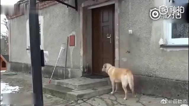 狗狗外出尿尿回来,结果门锁了,监控录下了令人不可思议的一幕!