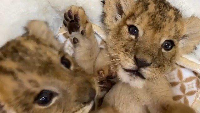 九州野生动物园ins:africansafari_lion