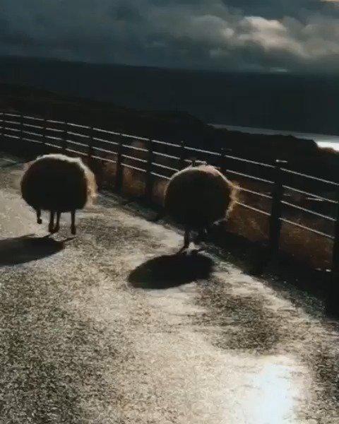 奔跑的羊咩咩,这是从动画片里跑出来的吗?