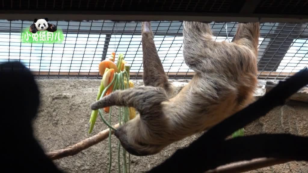 别说,树懒吃豇豆一点儿也不慢 2020.5.26 北京动物园 二趾树懒