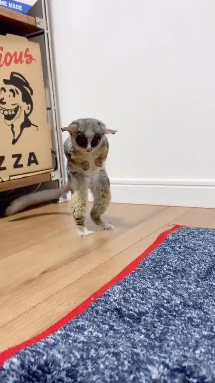 趣闻:在地上寻寻觅觅的婴猴,仿佛找不到隐形眼镜的人类