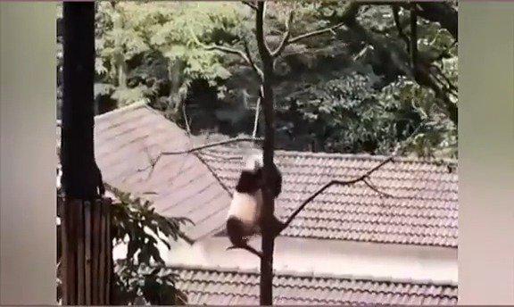 某动物园靠国宝跳钢管舞吸引游客