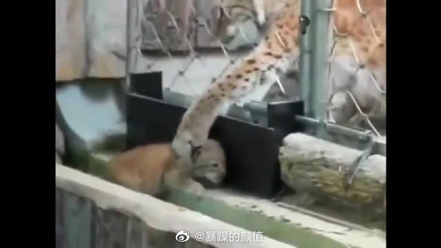 """动物园里的小猞猁""""越狱""""了,猞猁妈妈非常担心……"""