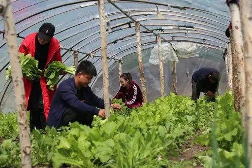 驻村干部忙着采摘市民订购的蔬菜