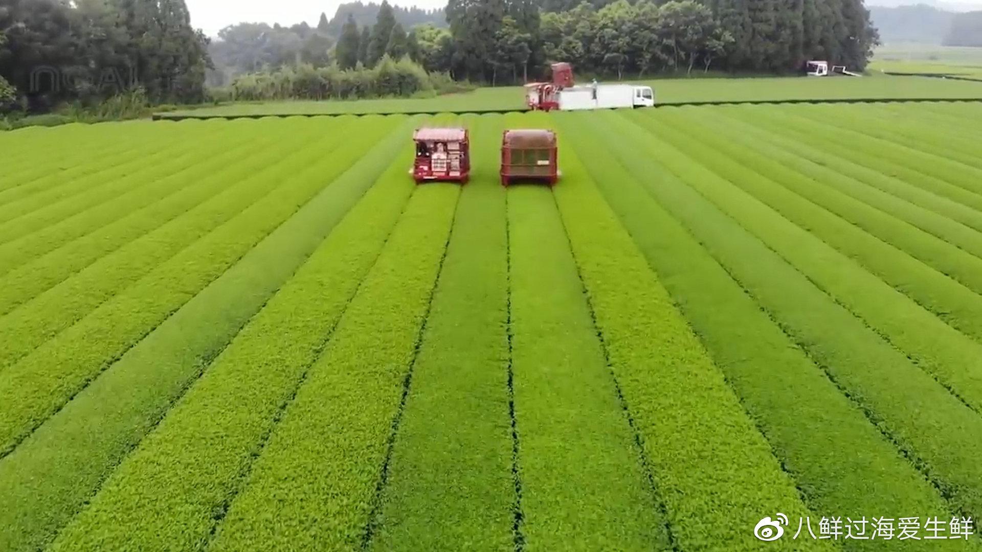 采收日本无农药天然绿茶,鸭子当先锋喷洒高压米糠水灭虫!