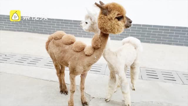 """萌得秃然!动物园迎六一给羊驼洗剪吹,""""脱""""掉棉衣萌值爆表"""