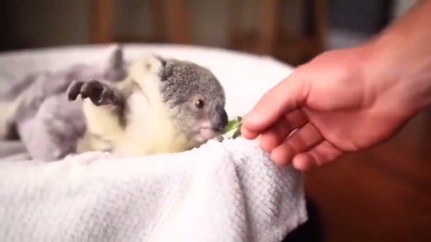 一只吃树叶的考拉宝宝,敲可爱的!瞬间就被治愈了!