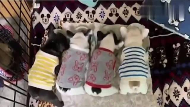 四只法斗小奶狗一起开饭,整整齐齐!!