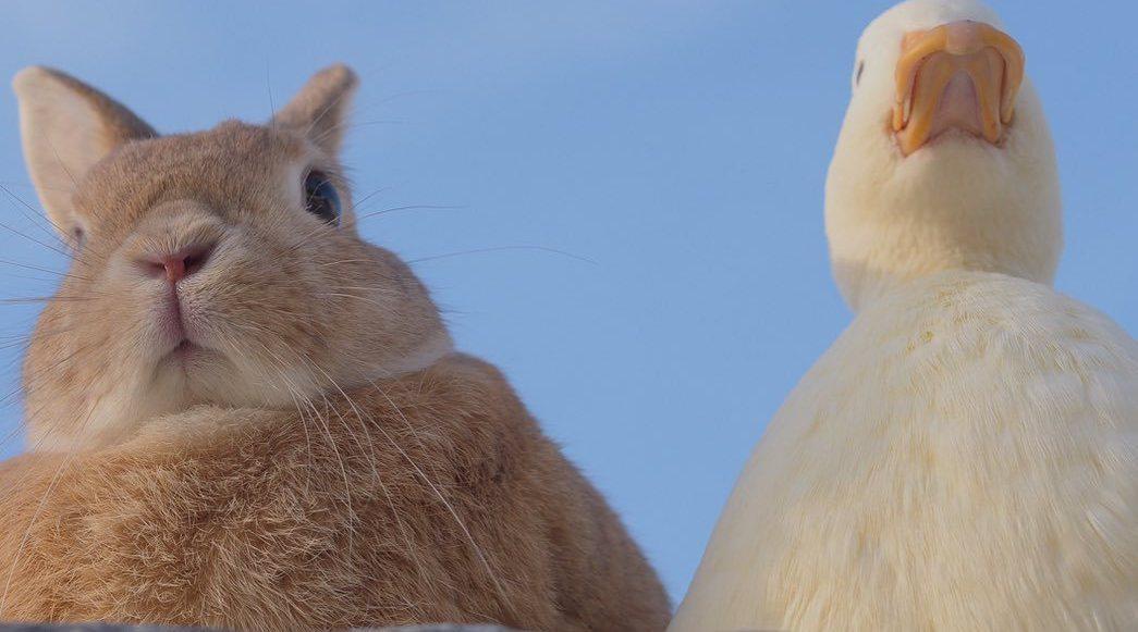 软萌萌的兔兔和鸭鸭,这画风莫名的很相配呀