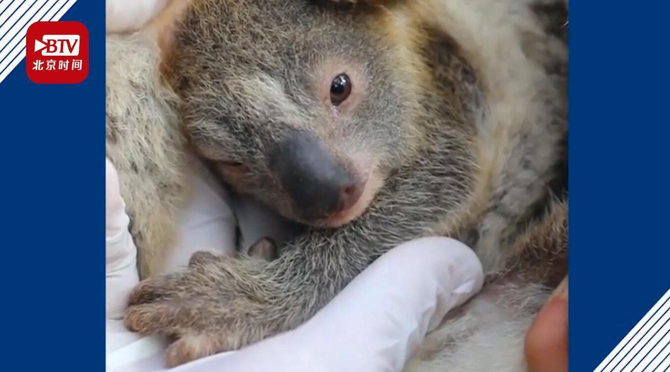 澳洲公园山火后出生的首只考拉改名灰烬