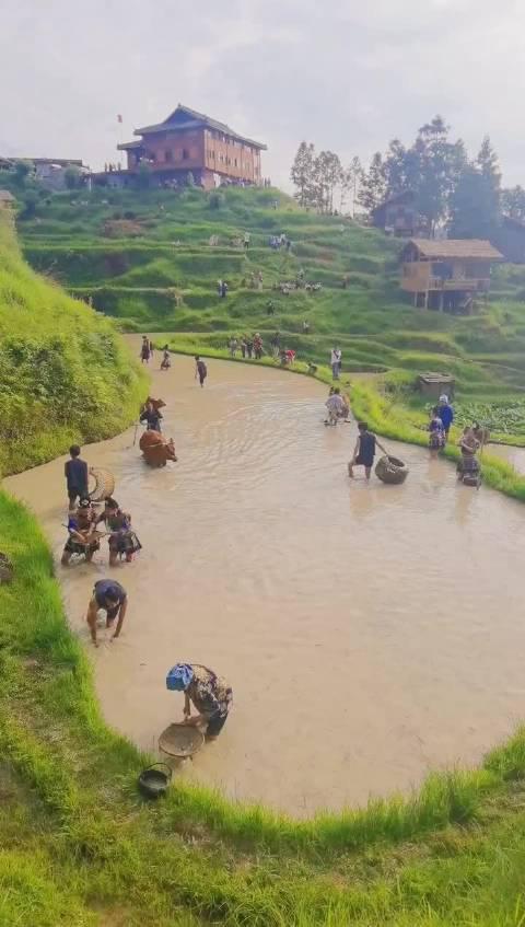 现在能看到黄牛耕田的太少了,关键是还能和侗家姑娘们一起抓鱼!