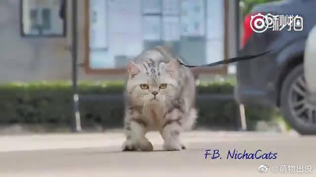 这王者般的走路姿势,心中有虎霸气外露!