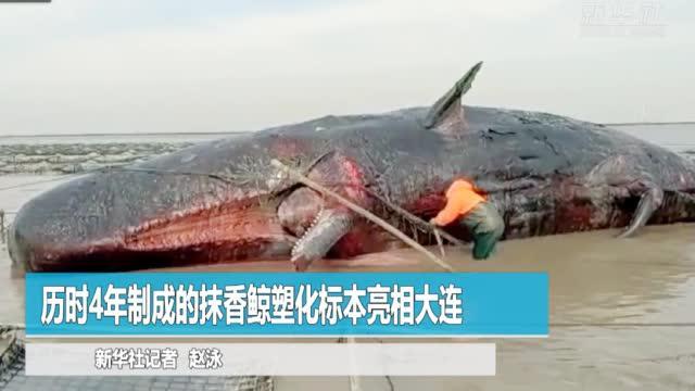 历时4年制成的抹香鲸塑化标本亮相大连