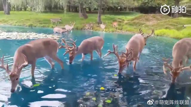 在森林小湖周围饮水的鹿,仿佛童话里的世界