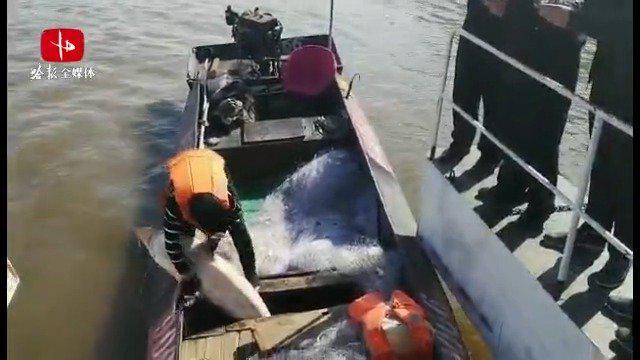 """渔民在黑龙江里误捕""""活化石""""达氏鳇和史氏鲟……"""