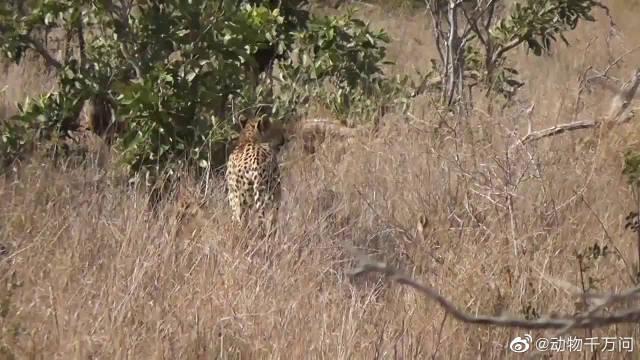 3只猎豹幼崽和妈妈一起行动,小小年纪也要学会生存!