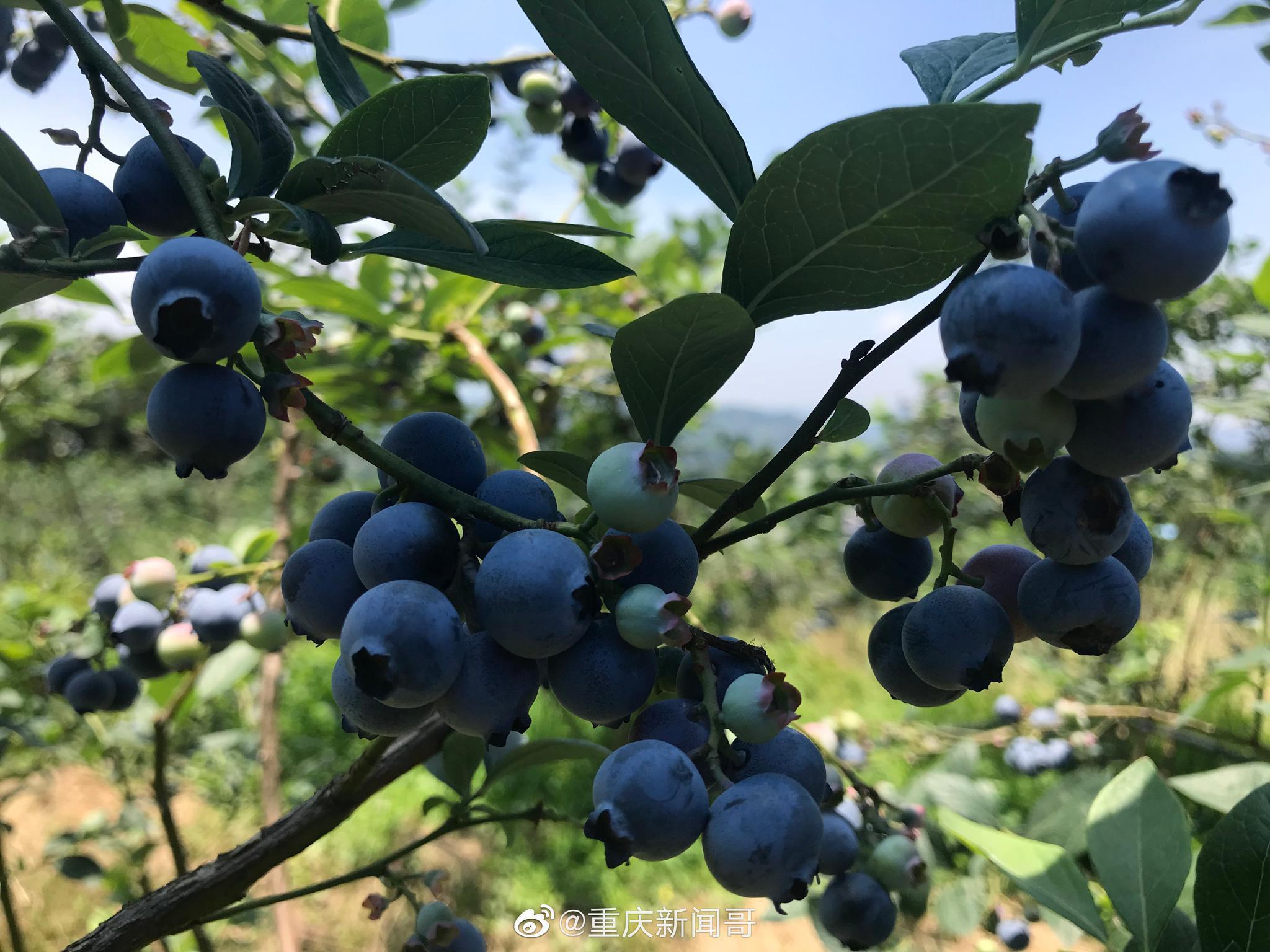 巴南蓝顶的蓝莓熟了,新闻哥的心儿醉了