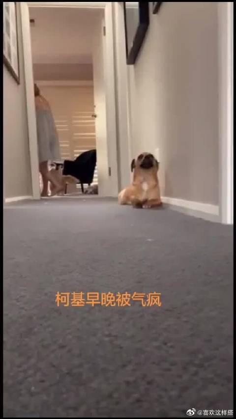 狗砸:柯基每天就是这样走路滴 by:YouTube每日宠物