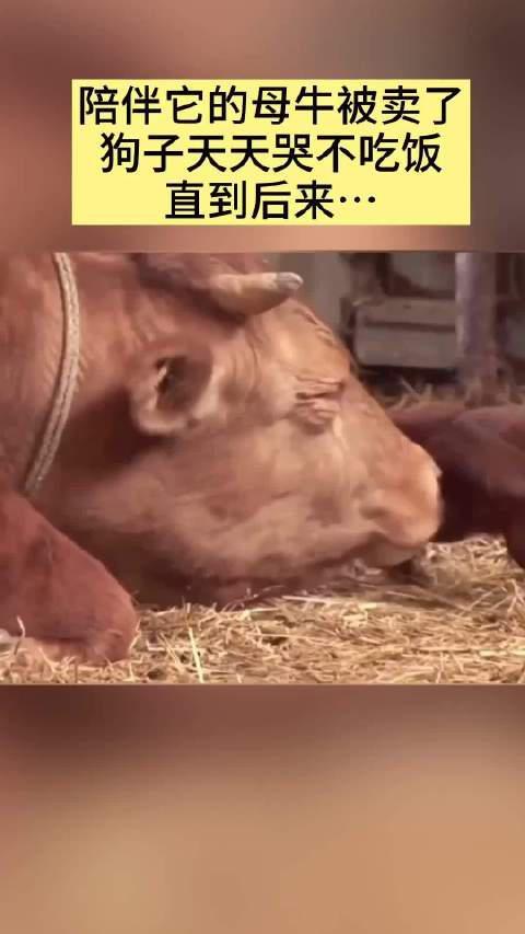 母牛被卖狗子天天哭不吃饭,还好,这是一个欣喜的结局……