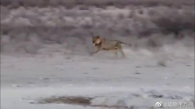 毫无戒备的棕鬣狗无意中闯入狮子领地……