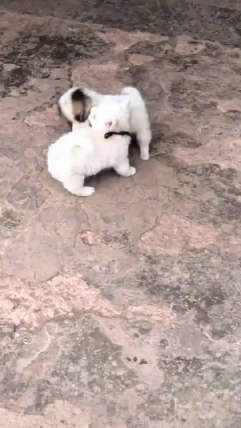 两只小奶狗打架,果然叫的最凶的那个是最弱的那个!