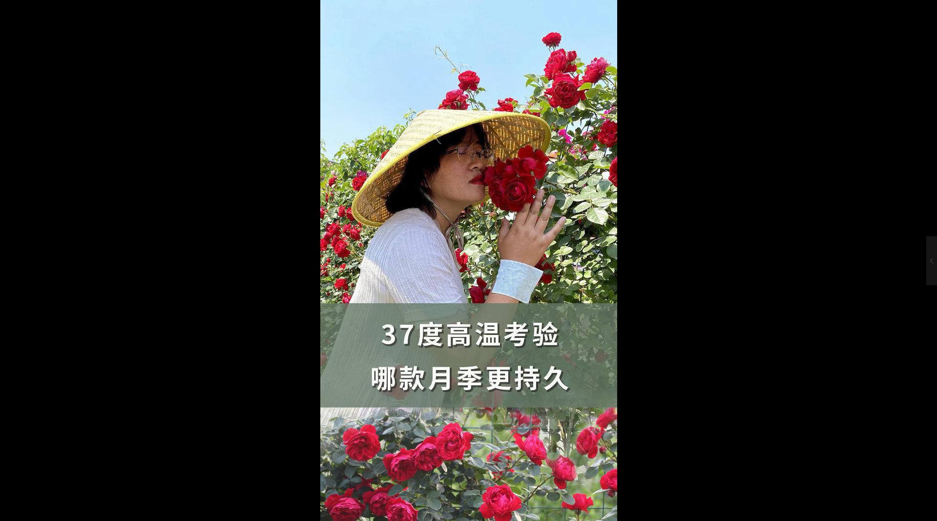 夏日赏花,带你寻找花园耐晒月季花!
