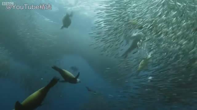 无比震撼的BBC纪录片——沙丁鱼盛宴