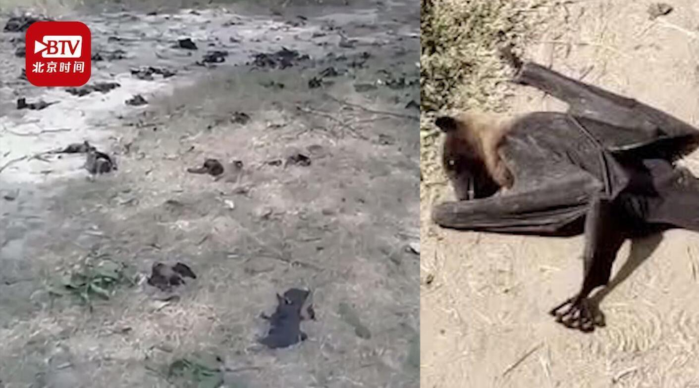 印度数百蝙蝠从天上掉下丧生 疑因43℃高温致脑出血