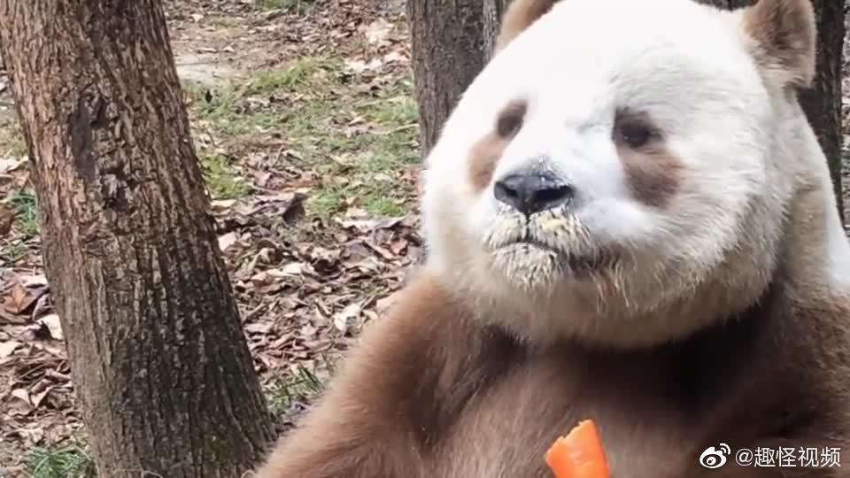 棕色大熊猫七仔,09年出生陕西!
