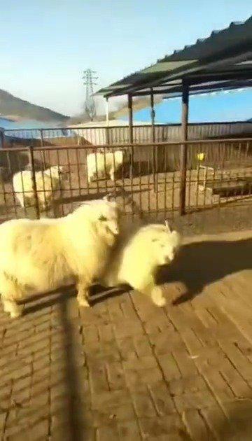 看来晚上得烤全羊走起了!