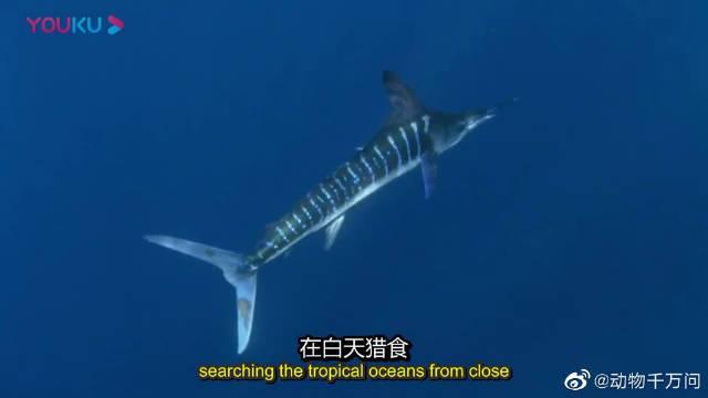 凶猛的海洋捕食者旗鱼,围攻沙丁鱼,却引来更多的掠食者!