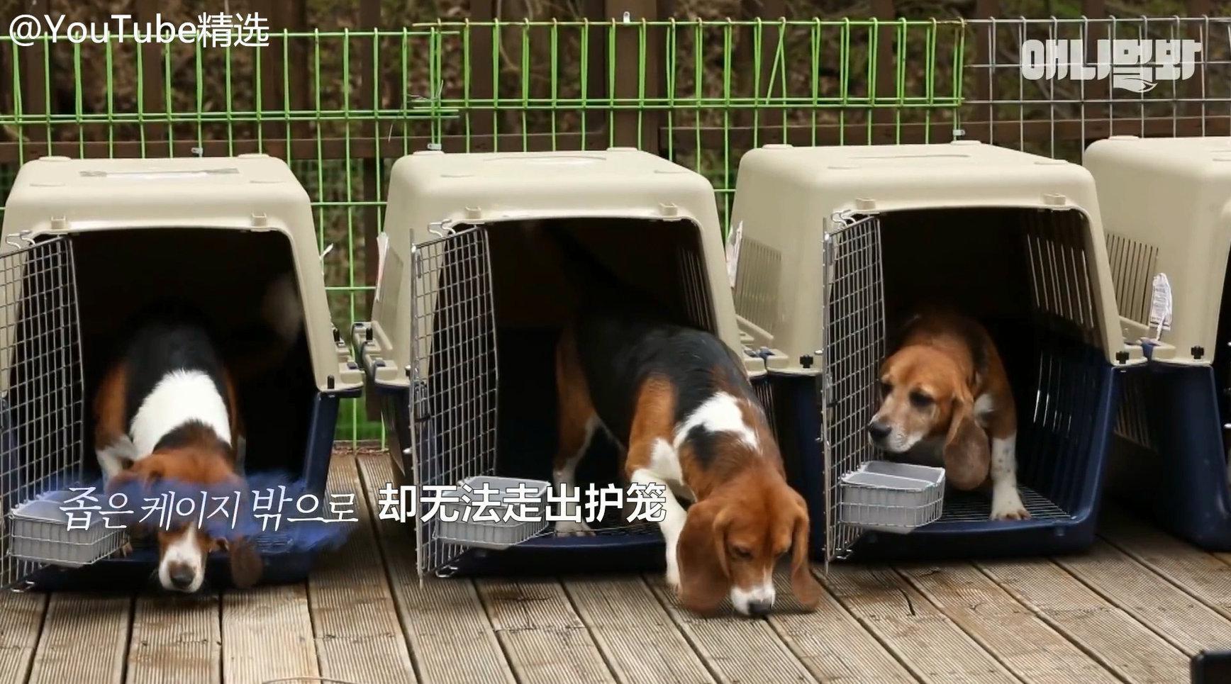 解救29只被用来做实验的比格犬