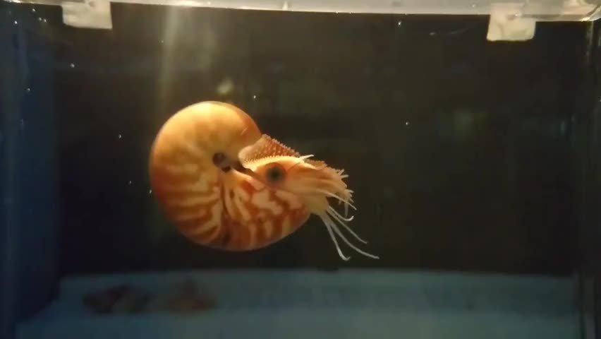 人工孵化的帕劳鹦鹉螺宝宝 鹦鹉螺(学名:Nautiloidea)是海洋软