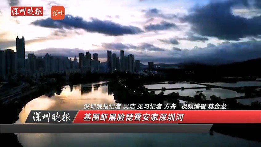 深晚报道|市民讲述深圳河变化:基围虾黑脸琵鹭安家