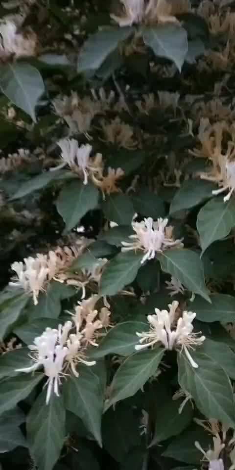 中药系列: 金银花(视频) 药用花蕾。别名双花等。性味:甘、寒