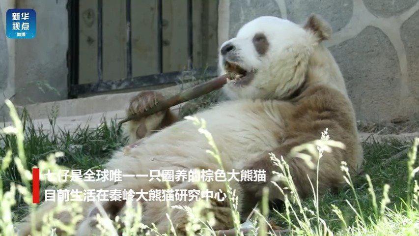 """棕色大熊猫七仔的幸福生活 曾经那个""""少年"""" 饭量不止有一丝丝改"""