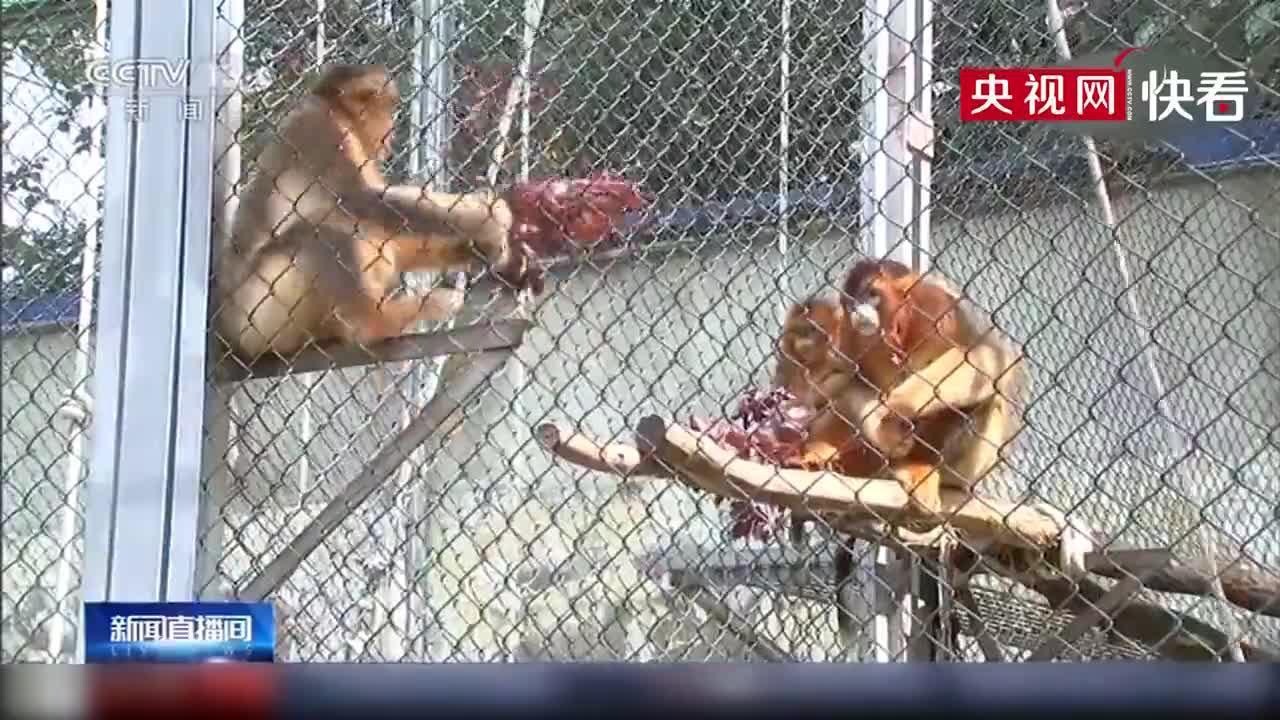 合肥野生动物园首次自然繁育出川金丝猴