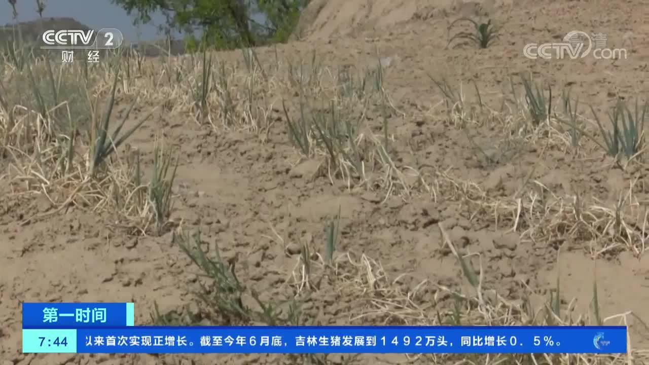[第一时间]陕西榆林:春夏连旱 农作物受旱严重