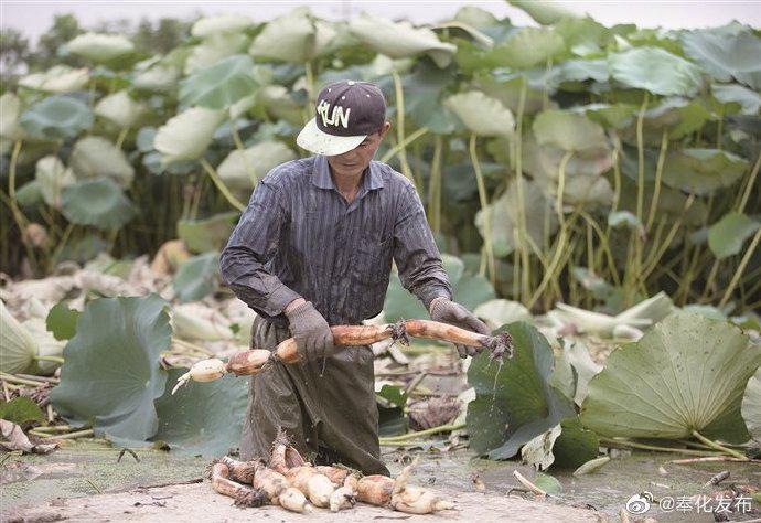 奉化藕农开始挖藕售卖 挖藕季将每天早上四五时挖藕