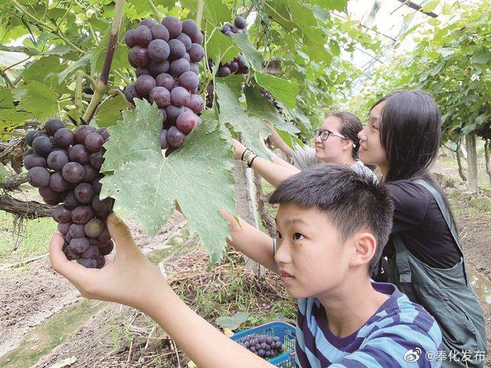 奉化江口早熟葡萄抢鲜上市 引众多游客前来采摘尝鲜