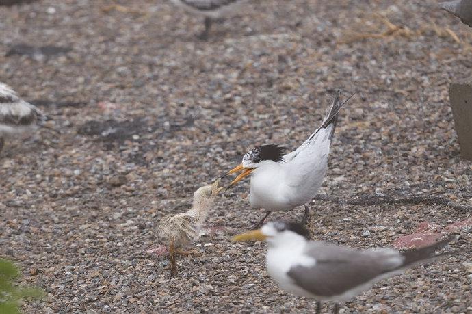 象山揭牌中华凤头燕鸥监测与保护基地 逐步扩大种群