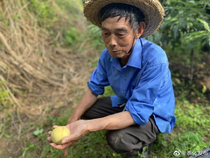 奉化老品种水蜜桃陆续上市 相比去年已提前一周上市