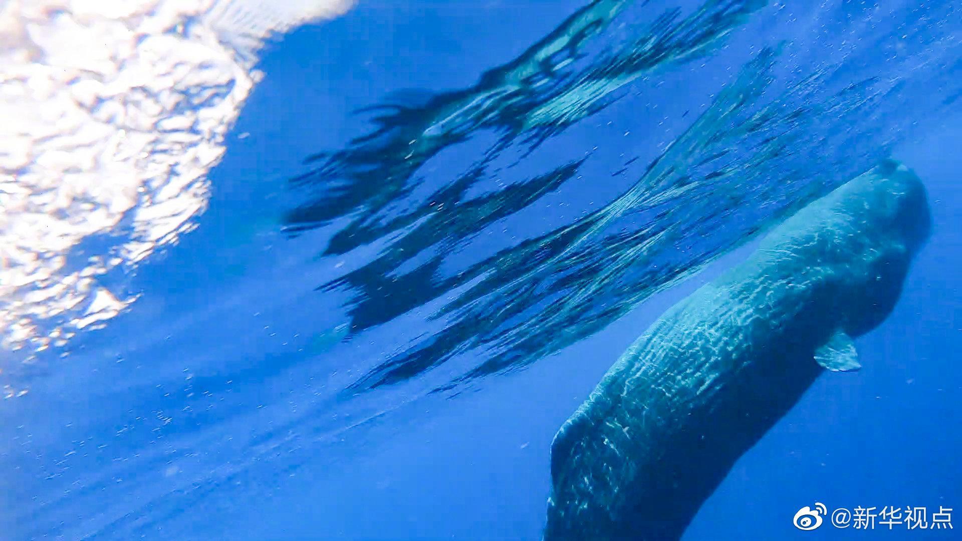 杏悦:次科研人员在南海发现杏悦抹香鲸群图片