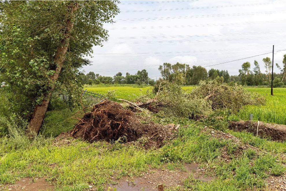 大风暴雨导致大树连根拔起