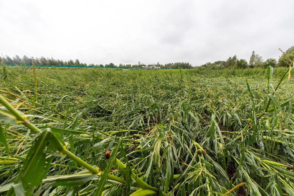 大片玉米地受损