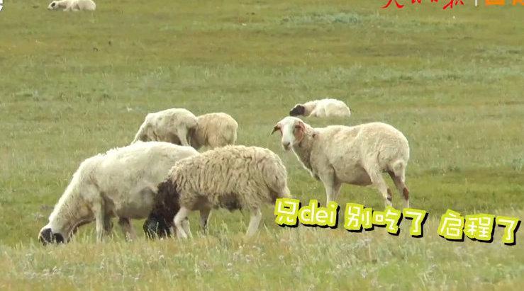 羊羊们长肥了吗?蒙古国牧场实拍捐赠给中国的羊