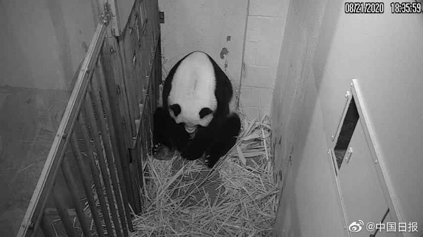 """华盛顿国家动物园喜报:大熊猫""""添丁""""啦!"""